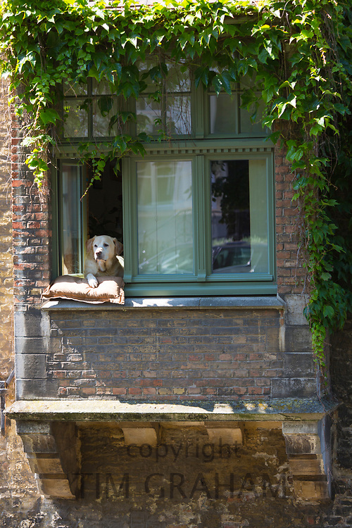 Labrador dog looking out at the canal scene by Groenerei (green Canal) in Bruges, Belgium