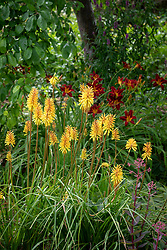 Kniphofia 'Rich Echoes' AGM - Red-hot poker - in front of Hemerocallis 'Stafford' AGM - Daylily.