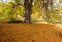 European Beech tree near Cherry Hill in Central Park