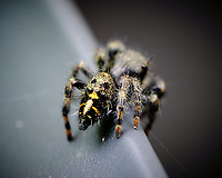 Hairy Spider. Image taken with a Fuji X-H1 camera and 80 mm f/2.8 macro lens (ISO 200, 80 mm, f/5.6, 1/30 sec)