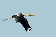 Painted Stork - Mycteria leucocephala