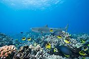 tiger shark, Galeocerdo cuvier, crosses reef with racoon butterflyfish, Chaetodon lunula, yellowfin surgeonfish, and other reef fish, Honokohau, Kona, Big Island, Hawaii, USA ( Central Pacific Ocean )