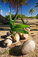 Brotes de coco, Tikehau, Archipiélago Tuamotu, Polinesia Francesa
