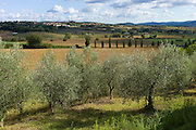 Olive grove and Tuscan panorama near Siena in Tuscany, Italy