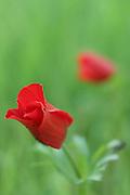 Anemone coronaria Israel Spring
