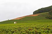 pinot noir vineyard corton and c-charlemagne vyd aloxe-corton cote de beaune burgundy france