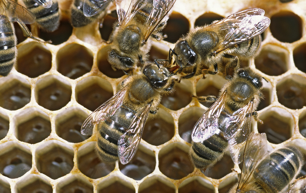 Honey Bees - Apis mellifera