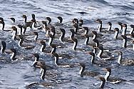 Bounty Island Shag - Phalacrocorax ranfurlyi