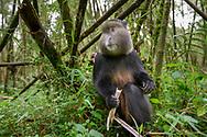 Goldmeerkatze (Cercopithecus kandti) beim Fressen von Bambussprossen, Parc National des Volcans, Virunga, Ruanda<br /> <br /> Golden monkey (Cercopithecus kandti) eating bamboo shoots, Parc National des Volcans, Virunga, Rwanda