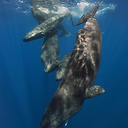 Group of sperm whales at the ocean surface, just before diving down