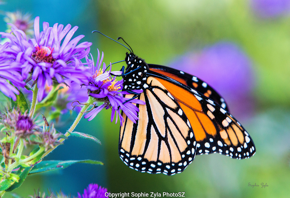 The beauty of Monarch with New England Aster