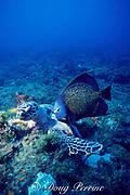 French angelfish, Pomacanthus paru, follows feeding hawksbill sea turtle, Eretmochelys imbricata, Critically Endangered Species, to get scraps, Palm Beach, Florida ( Western Atlantic Ocean )