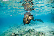 juvenile sea lions frolicking in the shallows, Zalophus californianus wollebacki or wollebaeki, Galapagos Islands, Ecuador, ( Eastern Pacific )