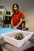 A newly arrived long-eared owl chick receiving a general health check, Amus Wildlife Recovery Center, Extremadura, Spain.