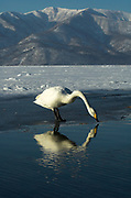 Whooper swan, Cygnus cygnus, drinking water, reflection, Kussharo-ko, Hokkaido Island, Japan, japanese, Asian, wilderness, wild, untamed, ornithology, snow, graceful, majestic, aquatic, .