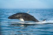 Humpback whale (Hnúfubakur)