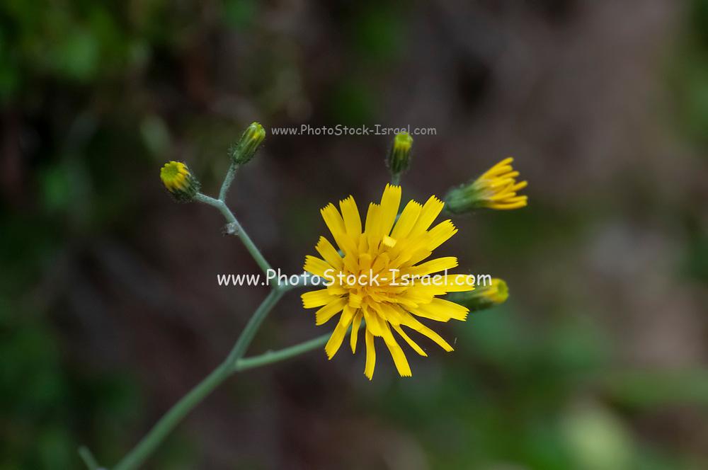 Yellow wildflower Hypochaeris radicata (sometimes spelled Hypochoeris radicata), also known as catsear, flatweed, cat's-ear, hairy cat's ear or false dandelion, is a perennial, low-lying edible herb. Photographed on Elfer Mountain, Stubaital, Tyrol, Austria
