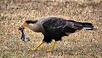 Crested Caracara with Lamb Leftovers. Outdoor Lunch at Hosteria Helsingfors in Argentina. Image taken with a Nikon 1 V3 camera and 70-300 mm VR lens (ISO 160, 23 mm, f/6.3, 1/320 sec). Raw image processed with Capture One Pro 8, Focus Magic, and Photoshop CC.
