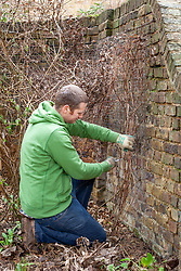 Pruning a late flowering type 3 clematis by cutting hard back close to the ground in winter