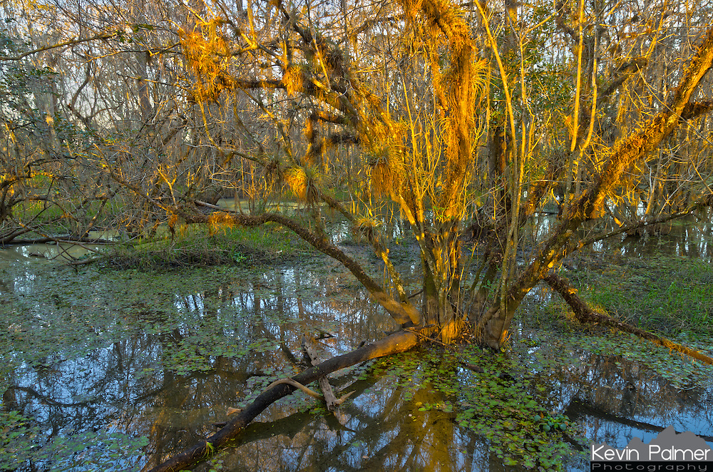 The trees in the cypress swamp glow in the late evening sunlight. This was on the Kirby Storter trail in Big Cypress National Preserve.<br />