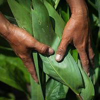 A Cambodia farmer tends her crop.