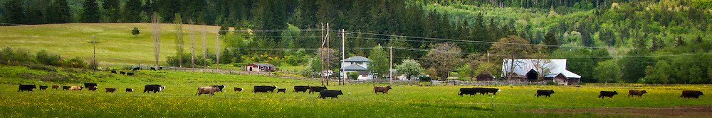 cows walking through a pasture near Quilcene, Jefferson County, Washington state, USA