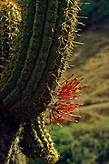 Cactus (Echinopsis chilensis) infected with (Tristerix aphyllus) - Chilean Desert