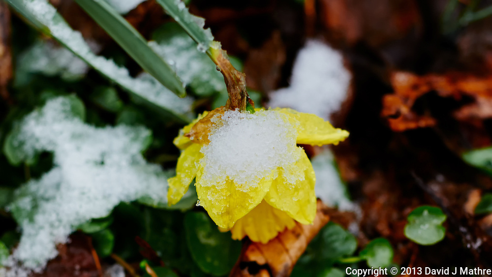 Late Winter Snow on Dafodill Bloom. Image taken with a D3s and 85 mm f/2.8 PC-E lens (ISO 800, 85 mm, f/4, 1/250 sec)