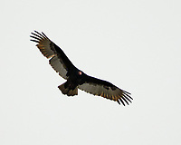 Turkey Vulture (Cathartes aura). Image taken with a Fuji X-T2 camera and 80 mm f/2.8 macro OIS lens.