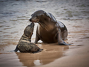 I watched this very young Galapagos Sea lion Pup for a while. It was entertaining itself playing with a stick and got covered in sand. Suddenly it rushed down to the water's edge and I realised its mother was returning from the sea. I managed to catch just the moment of a traditional sea lion greeting.<br /> <br /> PAGB Silver Medal - WCPF Exhibition 2019