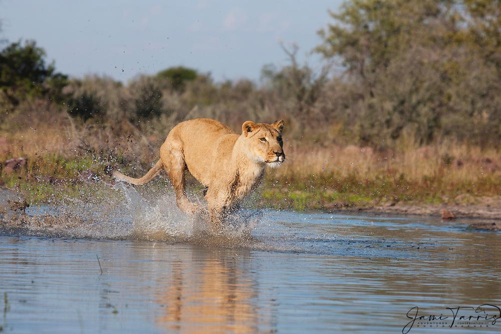 A female lioness running through the water, (Panthera leo), Kalahari Desert, Botswana Africa
