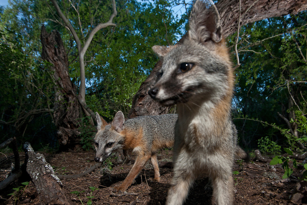A pair of Gray foxes on the prowl in the forest. Dinero, TX.
