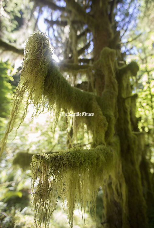 Dripping mosses hanging from a tree totally consumed by moss along the Hoh River Trail, Olympic National Park. (Steve Ringman / The Seattle Times)