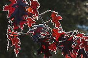 Red oak leaves, rimmed by hoar frost, sparkle in the low-angle sunlight on a cold winter morning.