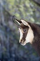 19.11.2008.Chamois (Rupicapra rupicapra). Portrait..Gran Paradiso National Park, Italy