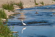 A Snowy egret (Egretta thula) in the Los Angeles River. Sepulveda Basin Recreation Area, Los Angeles, California, USA