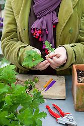 Taking pelargonium cuttings. Removing leaves