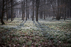 © Licensed to London News Pictures. 13/02/2017. Newbury, UK.  Snowdrops make a white carpet in the woods at Welford Park near Newbury. Welford Park, where The Great British Bake Off is filmed every summer, is only open for visitors for five weeks in the year - until March 5th. Sunshine and warmer temperatures are expected in the south today after the recent cold spell.  Photo credit: Peter Macdiarmid/LNP