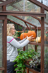 Putting pumpkins and squash onto shelves in the greenhouse