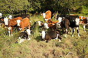 Young calves grazing in boggyfield by stream, near St David's, Pembrokeshire, Wales