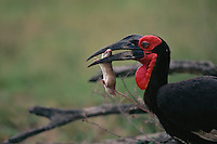 A Southern Ground Hornbill (Bucorvus cafer) crushes the skull of a mouse it has captured before swallowing..(Synonym with Bucorvus leadbeateri).Kruger National Park, South Africa.