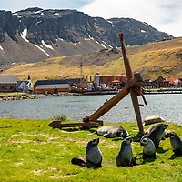 Antarctic fur seal pups play in the grass in front of ruins from the old whaling station at Grytviken on the north coast of South Georgia Island.