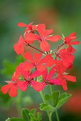Pelargonium 'Ville de Paris Red'