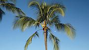 Coconut Palm tree, full moon, Kauai, Hawaii