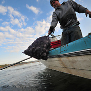 10/27/09 -- Paul Lambert and other Quahog fishermen pull the hardy shellfish from the warm waters of the New Meadows earlier this week from small boaty.  Photo by Roger S. Duncan.