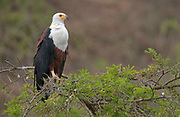 African Fish Eagle (Haliaeetus vocifer) at the Kazinga Channel, Uganda.