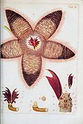 hand painted Botanical illustration of flower details leafs and plant from Miscellanea austriaca ad botanicam, chemiam, et historiam naturalem spectantia, cum figuris partim coloratis. Vol. I  by Nicolai Josephi Jacquin Published 1778. Figure 3