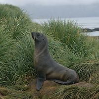A young Southern Fur Seal rests in tussock grass on Prion Island in the Bay of Isles, South Georgia, Antarctica.
