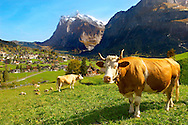 Milk Cow on Alpine Pasture above Grinderwald - Swiss Alps - Switzerland .<br /> <br /> Visit our SWITZERLAND  & ALPS PHOTO COLLECTIONS for more  photos  to browse of  download or buy as prints https://funkystock.photoshelter.com/gallery-collection/Pictures-Images-of-Switzerland-Photos-of-Swiss-Alps-Landmark-Sites/C0000DPgRJMSrQ3U