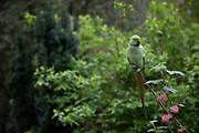 Green parakeets in St Jamess Park wait for tourists to feed them in London, United Kingdom. Feral parakeets in Great Britain are an introduced species into Great Britain. The population consists of rose-ringed parakeets, a non-migratory species of bird that is native to Africa and the Indian Subcontinent. The origins of these birds are subject to speculation, but they are generally thought to have bred from birds that escaped from captivity.